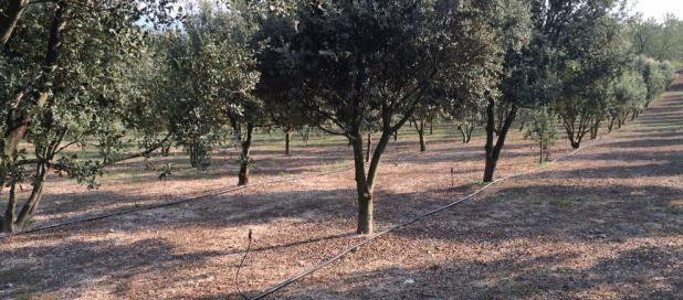 plantaci0n-trufa-negra