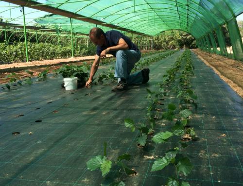 Compatibilización del cultivo de avellanas y trufas – Coselva
