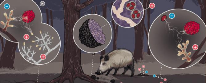 ciclo biológico de la trufa negra