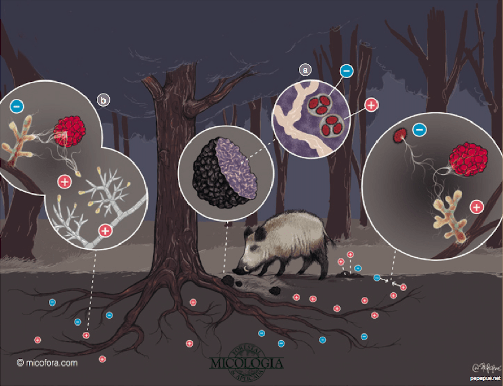 black truffle life cycle