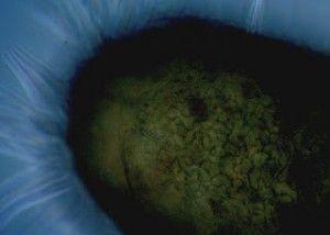 Cultivo de tuber borchii en avellanos - chile