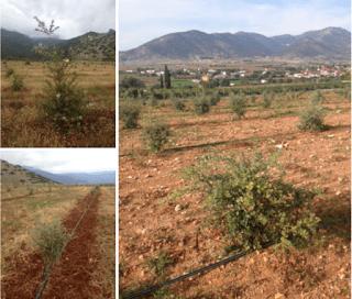 cultivo-trufas-en-grecia