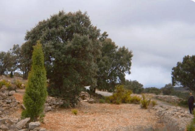 La trufa negra también se encuentra asociada a las raíces de hierbas y arbustos