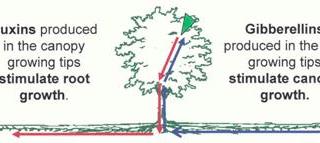 relación hormonas auxinas y gibelinas con poda