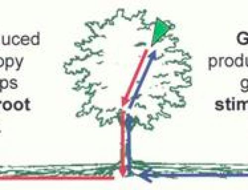 ¿Cómo afecta una poda fuerte el árbol trufero?