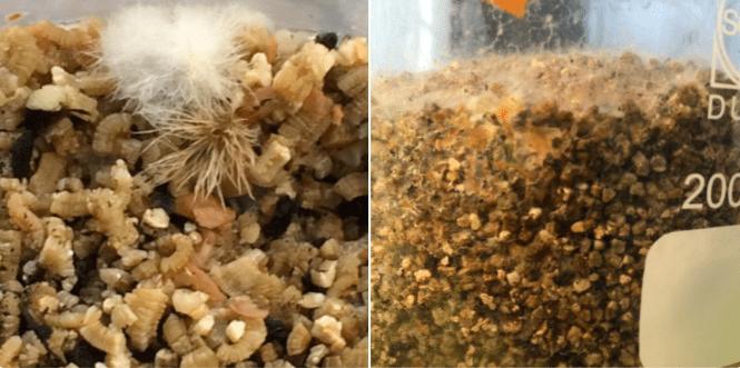 micelio de Lactarius en cultivo puro