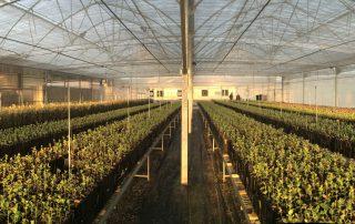 planta trufera micofora