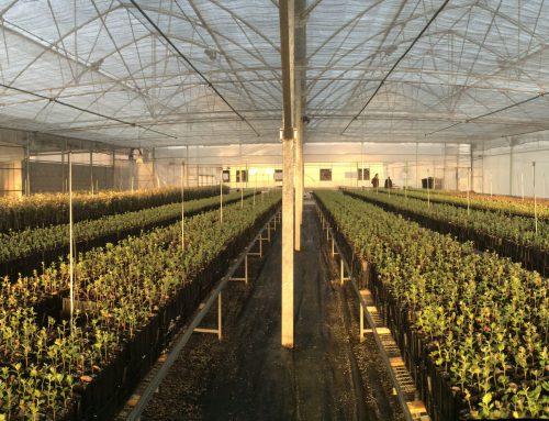 Nuevas ayudas a plantaciones de trufa negra en España