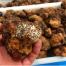 bianchetto cultivo con pino piñonero