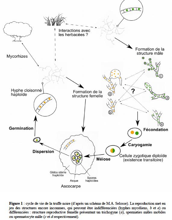 nuevo ciclo biológico de la trufa