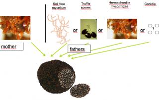 tuber melanosporum fathers may come for mycelium, spores or mycorrhizae