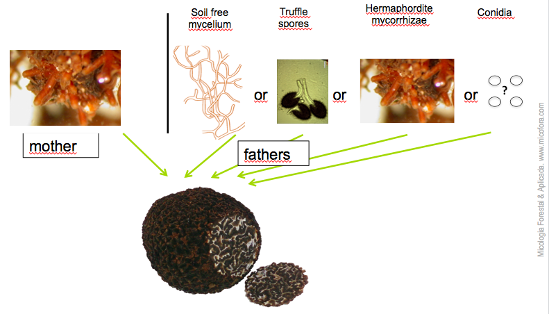 tuber melanosporum fathers may come for mycelium, spores or mycorrhizae