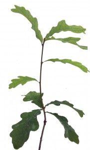 planta micorrizada de trufa negra