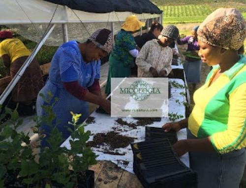 Transferencia tecnologica per Mosbec Truffle Farms – Surafrica
