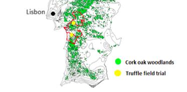 Evaluar la diversidad genética de Tuber borchii en plantaciones y en bosques de Portugal. Estudiar su capacidad competitiva con otros hongos ectomícorrícicos nativos.