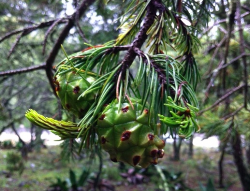 Growing truffles on Pines – Mexico