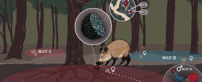 ciclo biológico y reproducción de Tuber melanosporum por micofora