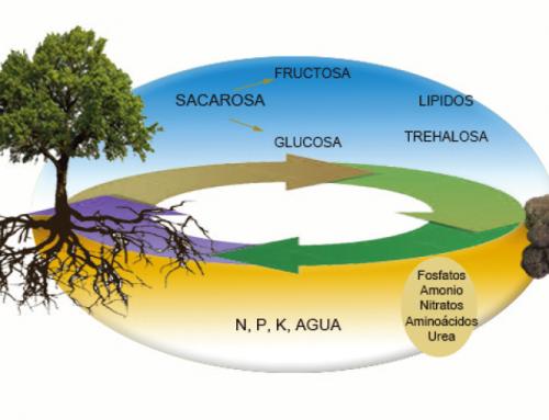 ¿Cómo se alimenta y obtiene el nitrógeno la trufa?