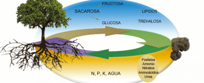 alimentación nutrientes de la trufa negra