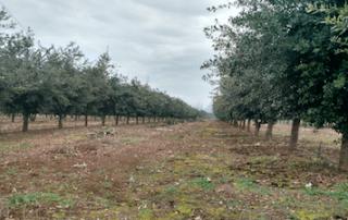 cultivo de trufas en Chile
