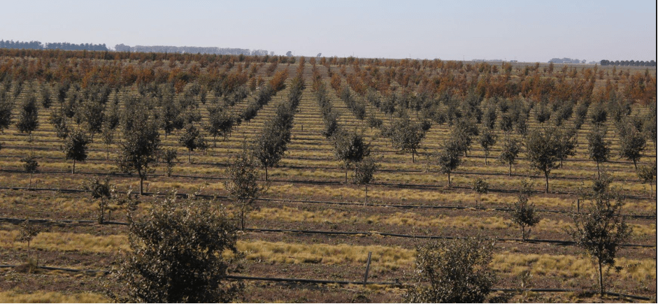 cultivo trufa negra Argentina