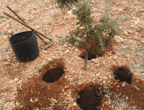 Efecto de los pozos o nidos de trufas en la calidad de la producción en plantaciones truferas